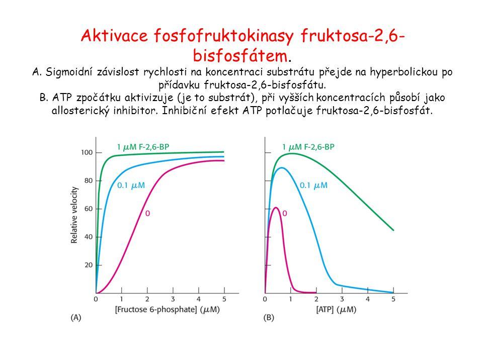 Aktivace fosfofruktokinasy fruktosa-2,6- bisfosfátem. A. Sigmoidní závislost rychlosti na koncentraci substrátu přejde na hyperbolickou po přídavku fr