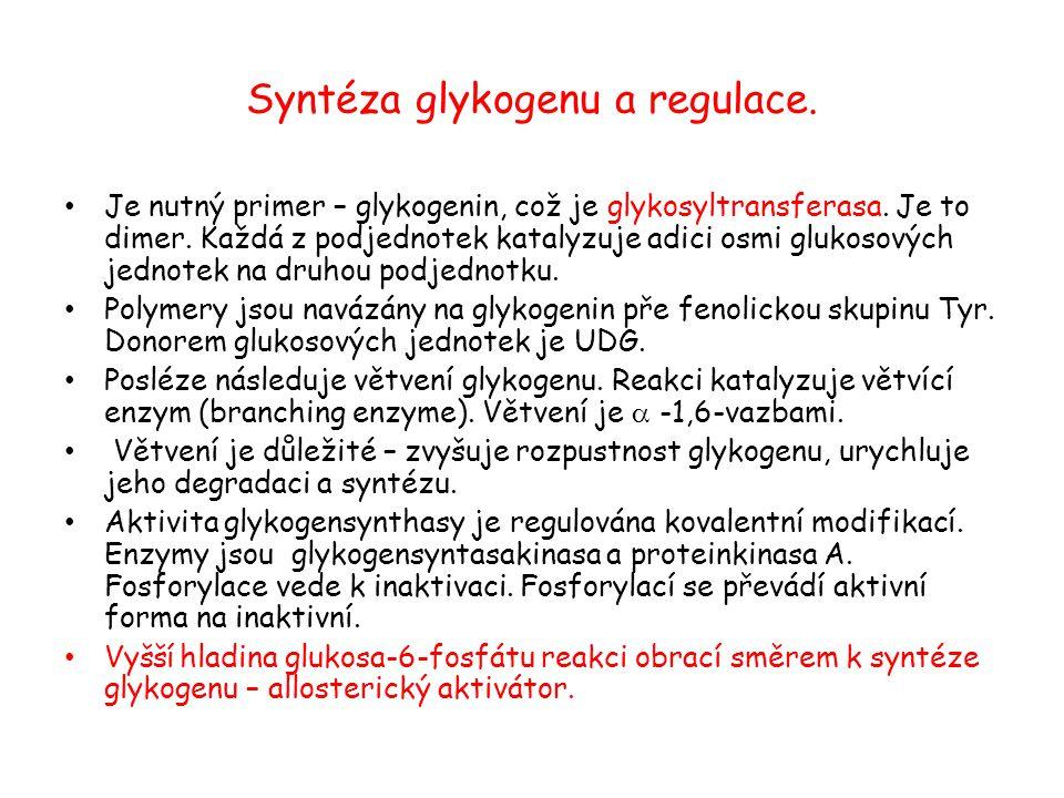 Syntéza glykogenu a regulace. Je nutný primer – glykogenin, což je glykosyltransferasa. Je to dimer. Každá z podjednotek katalyzuje adici osmi glukoso