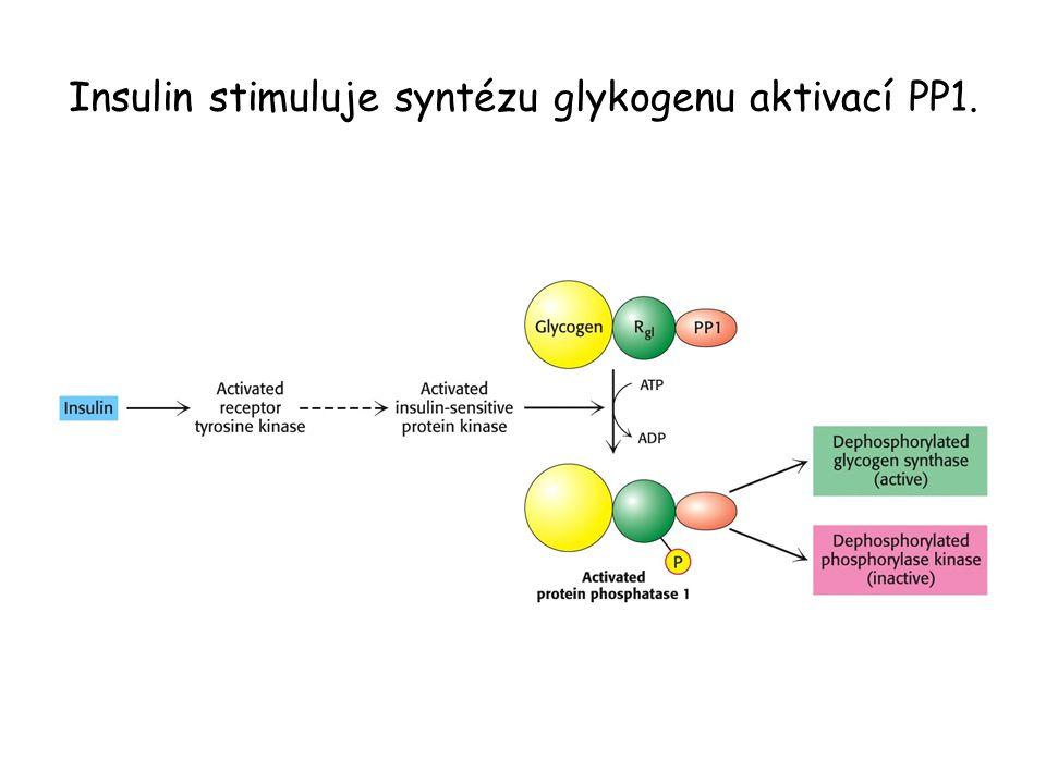 Insulin stimuluje syntézu glykogenu aktivací PP1.