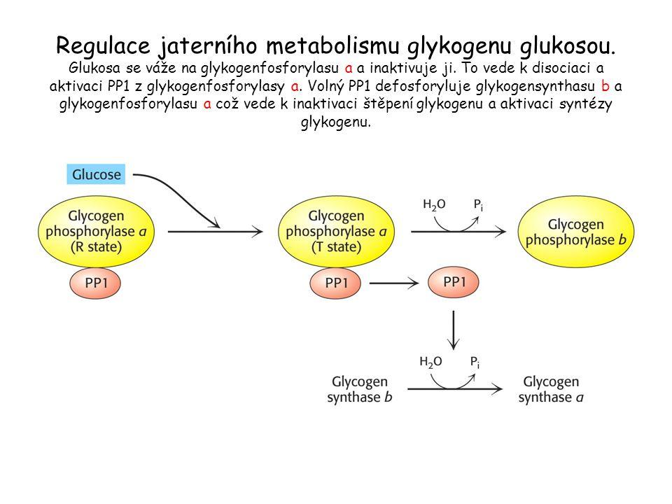 Regulace jaterního metabolismu glykogenu glukosou. Glukosa se váže na glykogenfosforylasu a a inaktivuje ji. To vede k disociaci a aktivaci PP1 z glyk
