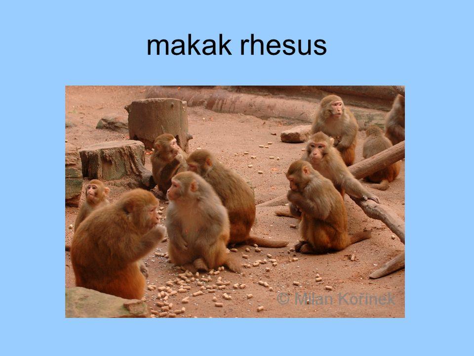 makak rhesus