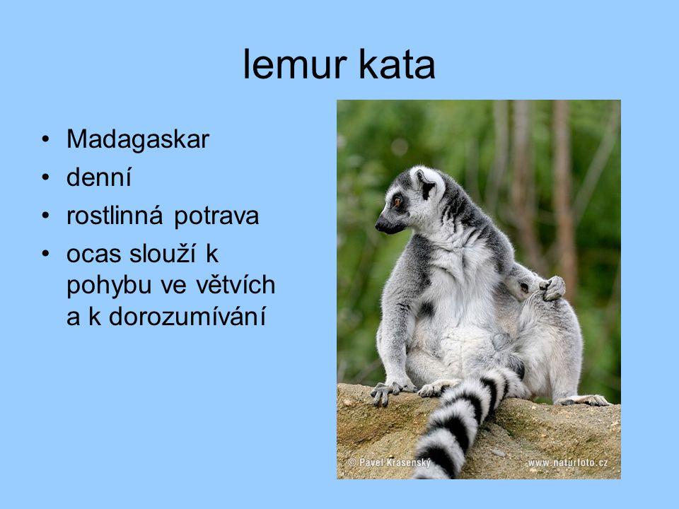 lemur kata Madagaskar denní rostlinná potrava ocas slouží k pohybu ve větvích a k dorozumívání