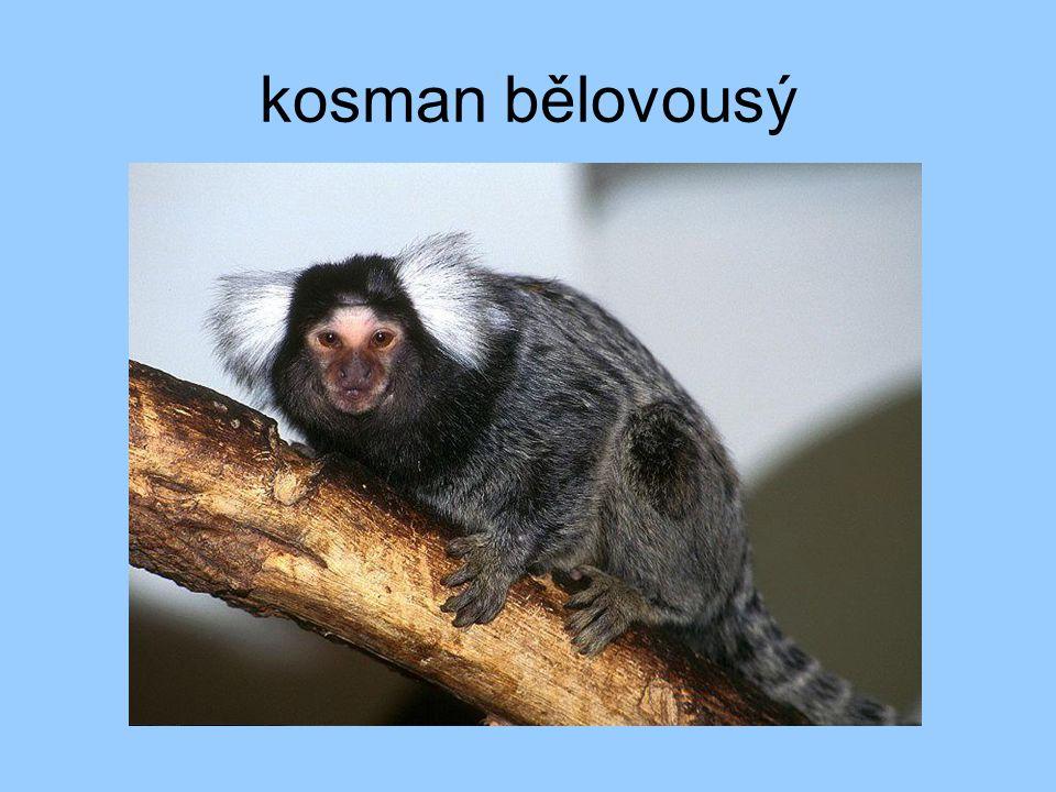 lidoopi nejlépe vyvinuté opice zakrnělý ocas řídká srst zadní nohy poměrně silné velká schopnost se učit
