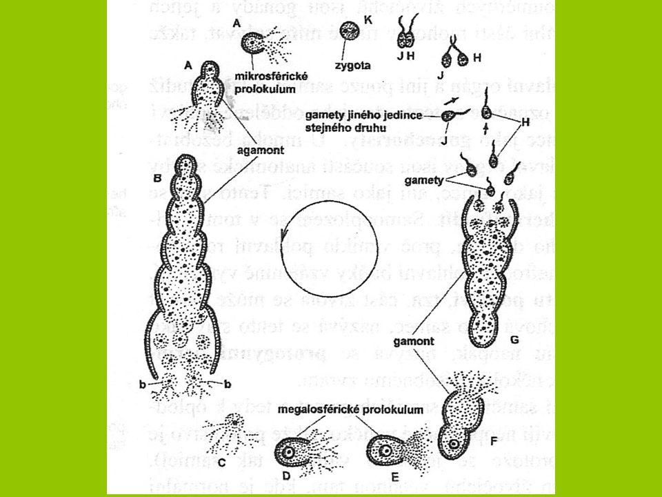 Měkkýši  Uvolnění pohlavních buněk prostřednictvím gonoperikardiálního vývodu  Plži - 1 gonáda redukována -> vývod se napojuje na pravé nefridium -> zachování vyluč.