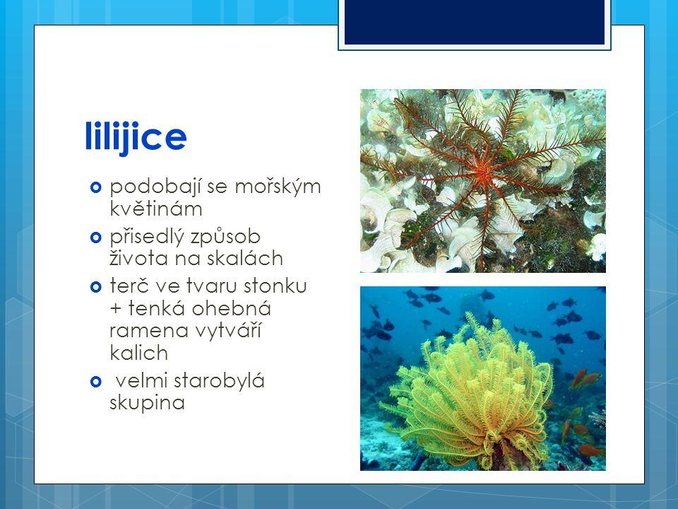 lilijice  podobají se mořským květinám  přisedlý způsob života na skalách  terč ve tvaru stonku + tenká ohebná ramena vytváří kalich  velmi starob