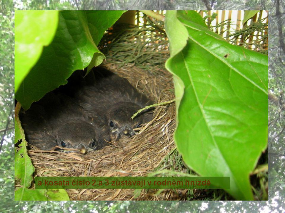 13.6. - podařilo se, před polednem neodvážnější mládě číslo 1 poletovalo chvíli po balkoně a pak přímým letem dorazilo na nejbližší kaštan do hnízda s