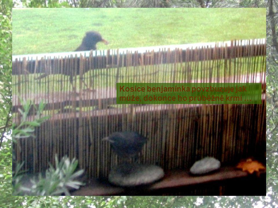 14.6. – kosice opět láká mladé na potravu ven z hnízda 14.6. - číslo 2 a jeho letecké pokusy po balkoně … …po krátkém rozhodování bez problémů doletěl