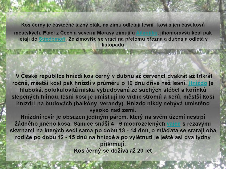 Městští kosi Synurbanizace kosa černého začala v západní Evropě už na počátku 19. stol., v Česku pronikají první kosové do měst v druhé polovině 19. s