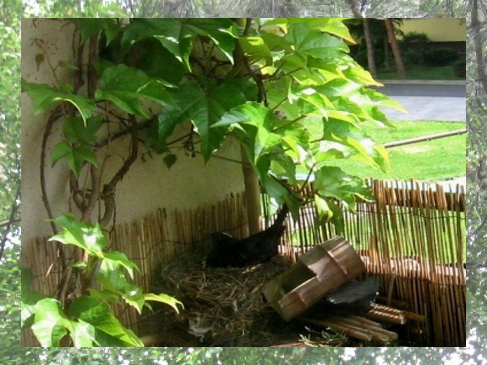 Přibližně okolo 9. května se začal na našem balkoně pohybovat podezřele často párek kosů… 12.5., tam, kde si obvykle odkládám hrníček s kávou, vzniklo