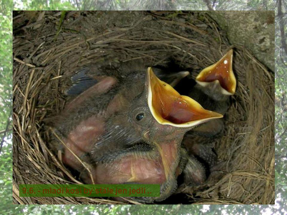 Kos černý (Turdus merula) je pták žijící v celé Evropě a v jižní Asii, byl introdukován i do Austrálie a na Nový Zéland.