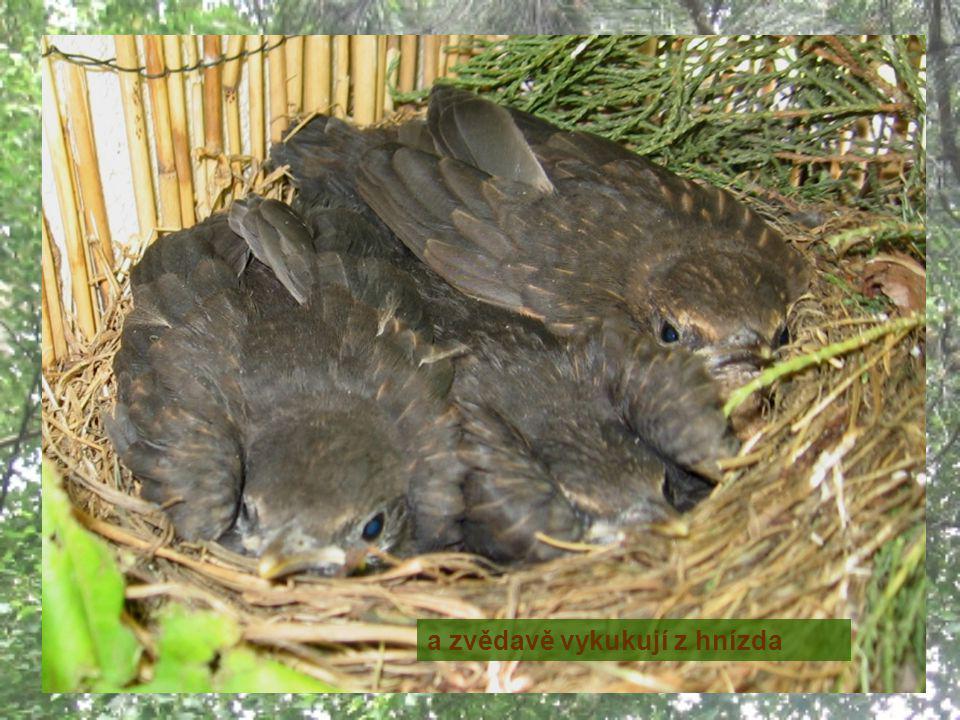 10. – 12. 6. - narostlo jim krásné peří …. a zvědavě vykukují z hnízda