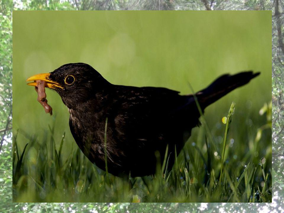 V České republice hnízdí kos černý v dubnu až červenci dvakrát až třikrát ročně, městší kosi pak hnízdí v průměru o 10 dnů dříve než lesní.