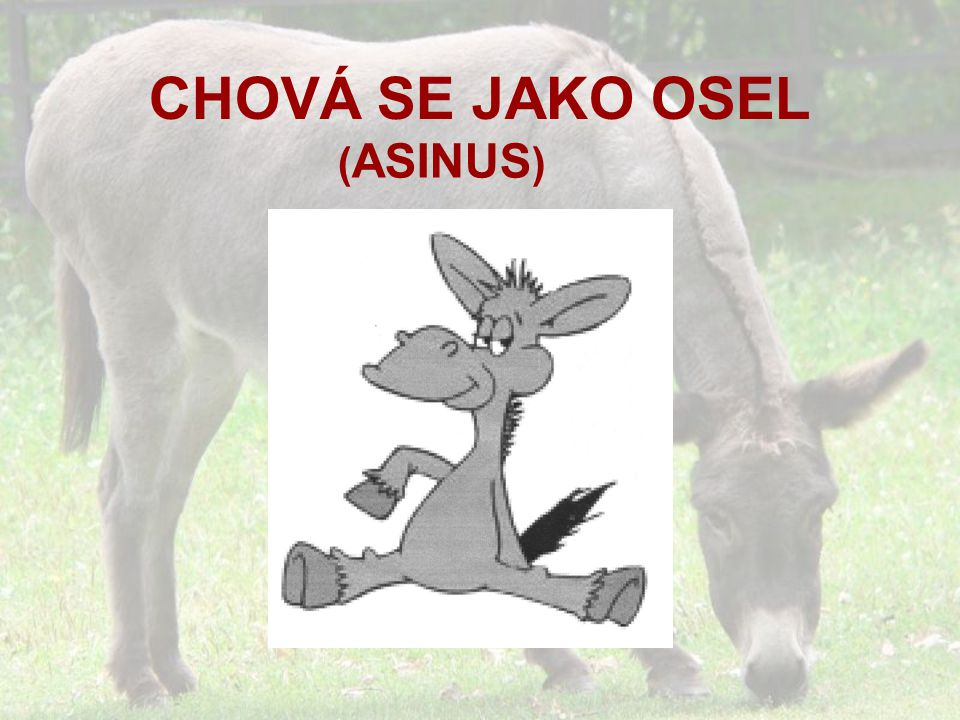 CHOVÁ SE JAKO OSEL ( ASINUS )