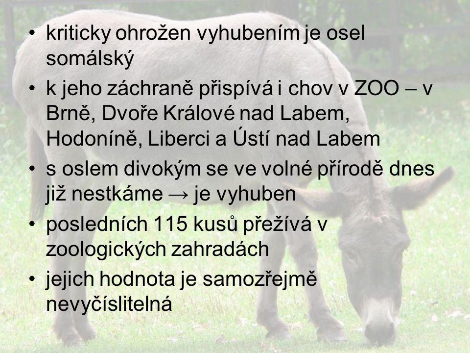 kriticky ohrožen vyhubením je osel somálský k jeho záchraně přispívá i chov v ZOO – v Brně, Dvoře Králové nad Labem, Hodoníně, Liberci a Ústí nad Labem s oslem divokým se ve volné přírodě dnes již nestkáme → je vyhuben posledních 115 kusů přežívá v zoologických zahradách jejich hodnota je samozřejmě nevyčíslitelná