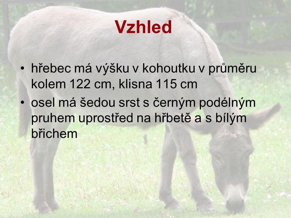 Vzhled hřebec má výšku v kohoutku v průměru kolem 122 cm, klisna 115 cm osel má šedou srst s černým podélným pruhem uprostřed na hřbetě a s bílým břichem