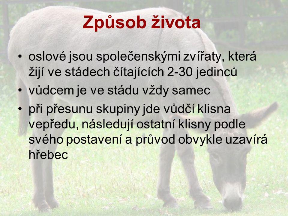 Způsob života oslové jsou společenskými zvířaty, která žijí ve stádech čítajících 2-30 jedinců vůdcem je ve stádu vždy samec při přesunu skupiny jde vůdčí klisna vepředu, následují ostatní klisny podle svého postavení a průvod obvykle uzavírá hřebec