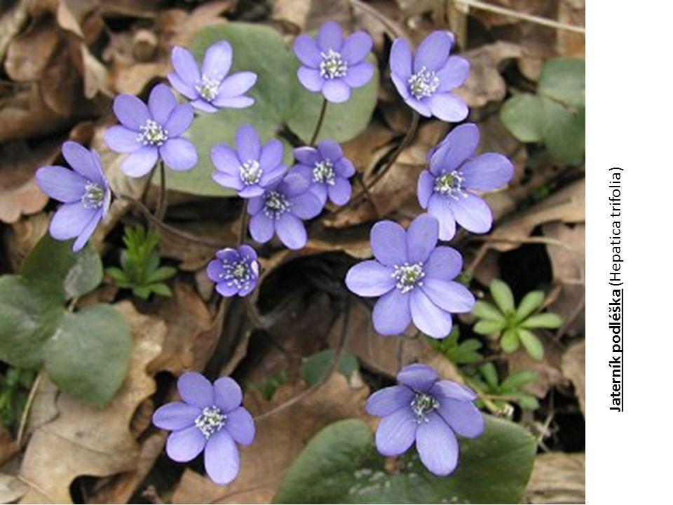 Jaterník podléška (Hepatica trifolia)