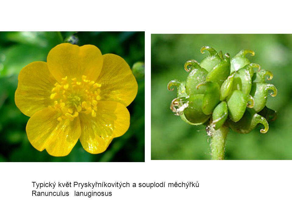 Typický květ Pryskyřníkovitých a souplodí měchýřků Ranunculus lanuginosus