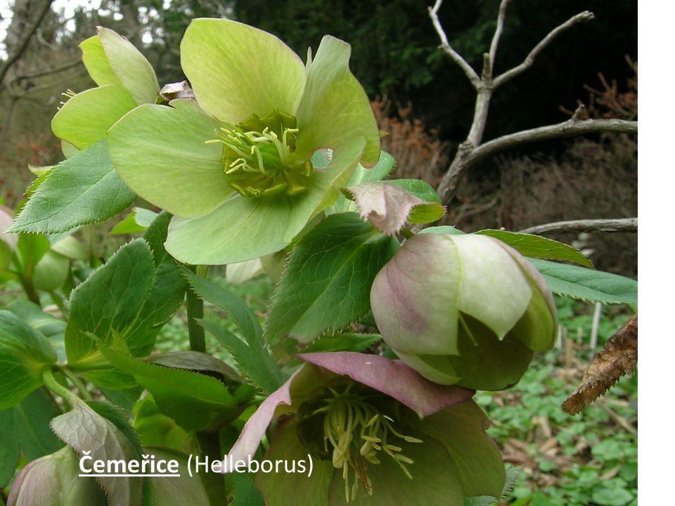 Čemeřice (Helleborus)
