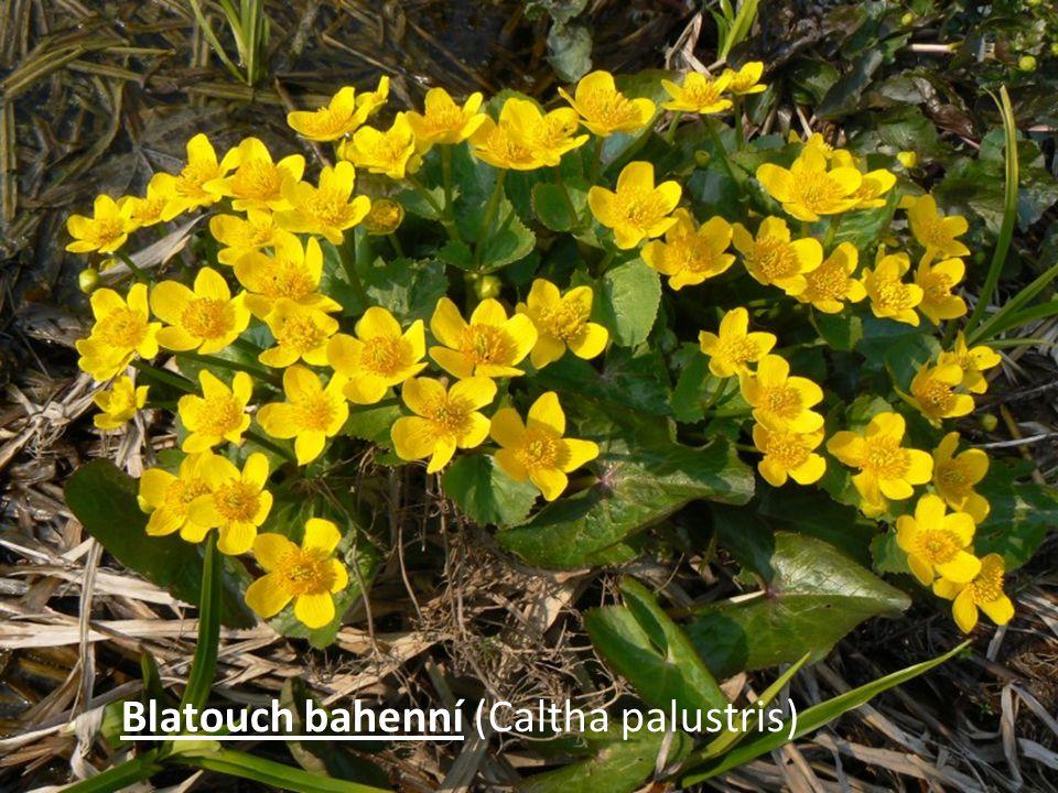 Blatouch bahenní (Caltha palustris)