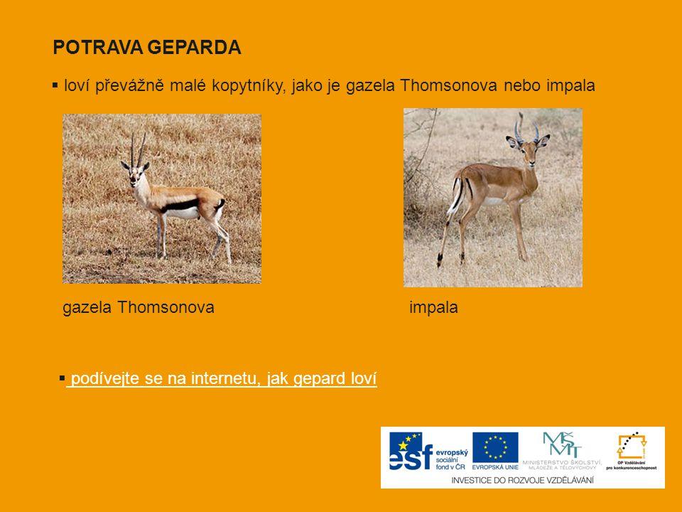 POTRAVA GEPARDA  loví převážně malé kopytníky, jako je gazela Thomsonova nebo impala gazela Thomsonovaimpala  podívejte se na internetu, jak gepard