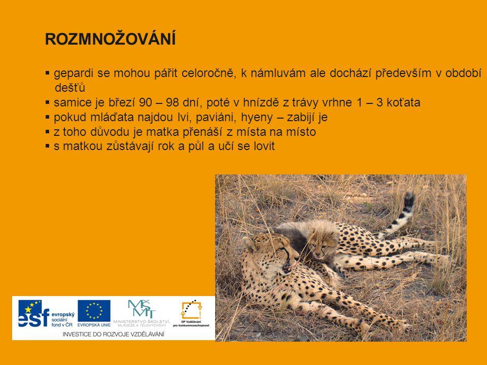 ROZMNOŽOVÁNÍ  gepardi se mohou pářit celoročně, k námluvám ale dochází především v období dešťů  samice je březí 90 – 98 dní, poté v hnízdě z trávy
