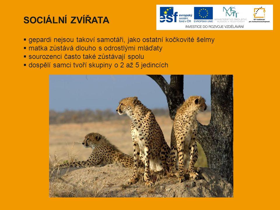 SOCIÁLNÍ ZVÍŘATA  gepardi nejsou takoví samotáři, jako ostatní kočkovité šelmy  matka zůstává dlouho s odrostlými mláďaty  sourozenci často také zů