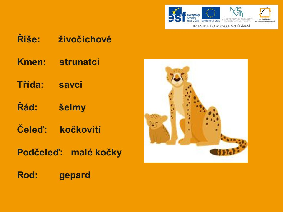 Říše: živočichové Kmen: strunatci Třída: savci Řád: šelmy Čeleď: kočkovití Podčeleď: malé kočky Rod: gepard