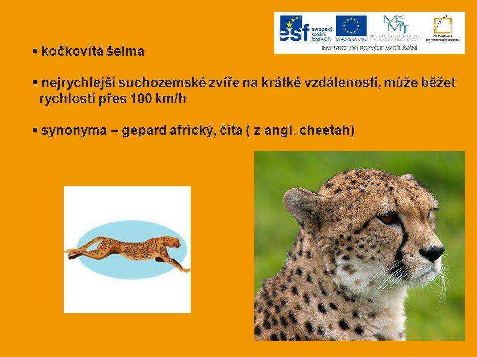  kočkovitá šelma  nejrychlejší suchozemské zvíře na krátké vzdálenosti, může běžet rychlostí přes 100 km/h  synonyma – gepard africký, čita ( z ang