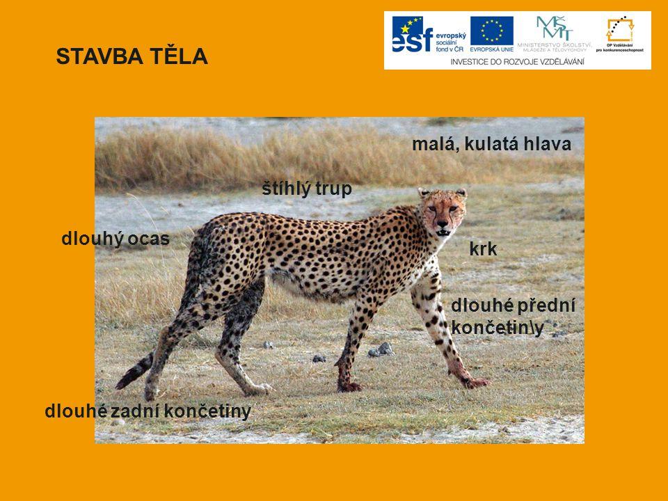  gepard je nazýván jako kočka, která pláče  typický znak – černý pruh od oka k tlamě