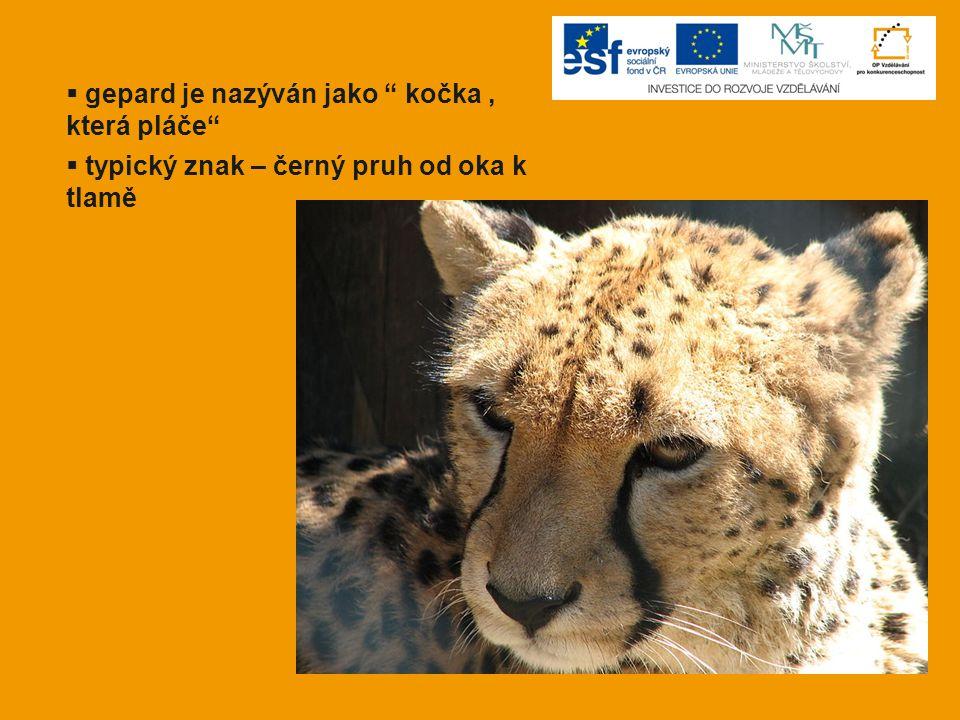 """ gepard je nazýván jako """" kočka, která pláče""""  typický znak – černý pruh od oka k tlamě"""