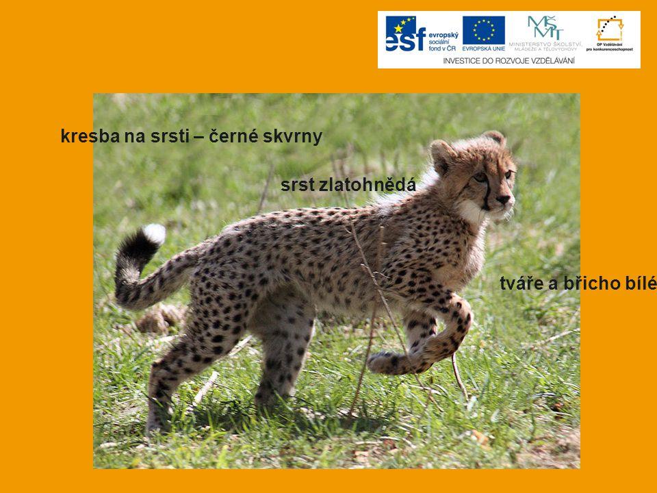 KVÍZ 3.Typickým znakem geparda je… a) černý pruh od ucha k tlamě b) černý pruh od oka k tlamě