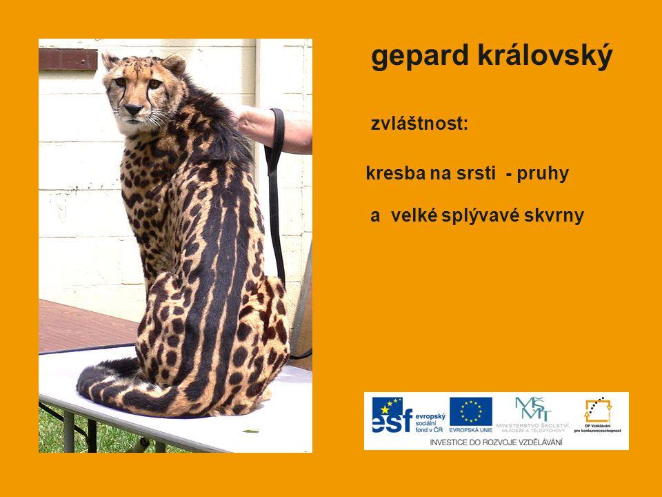 gepard královský zvláštnost: kresba na srsti - pruhy a velké splývavé skvrny