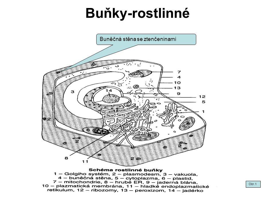 Buňky-rostlinné-pletiva Obr.2