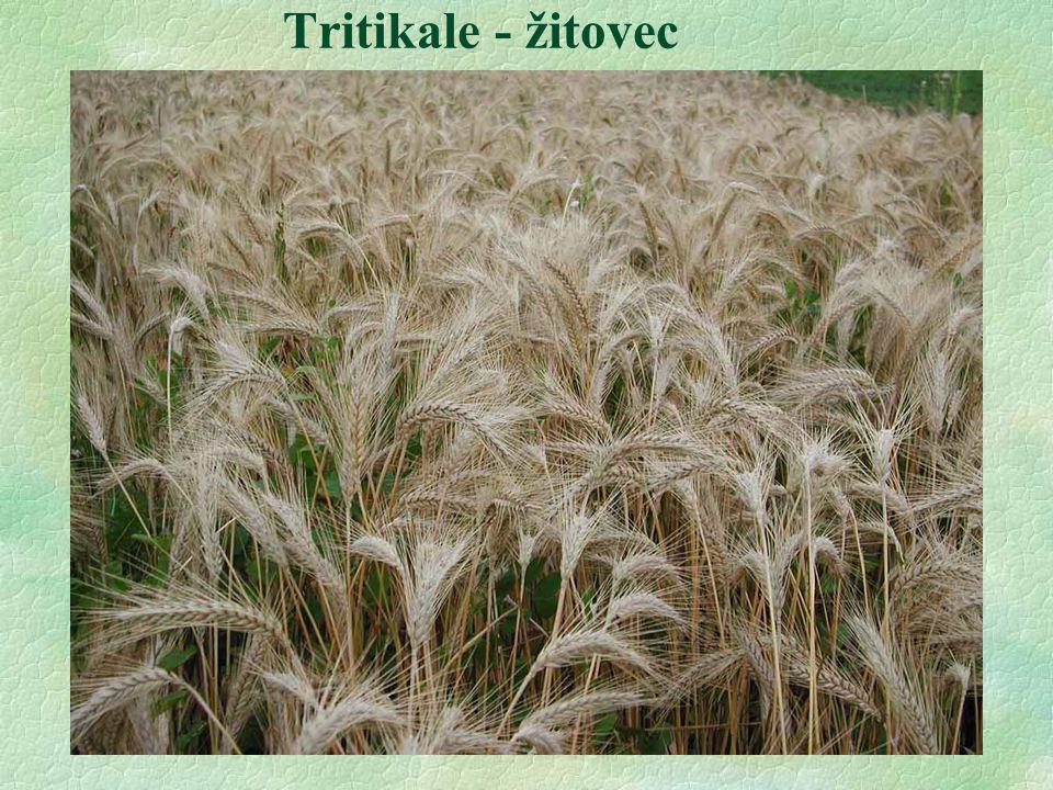 Tritikale - žitovec