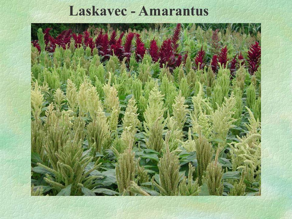 Laskavec - Amarantus