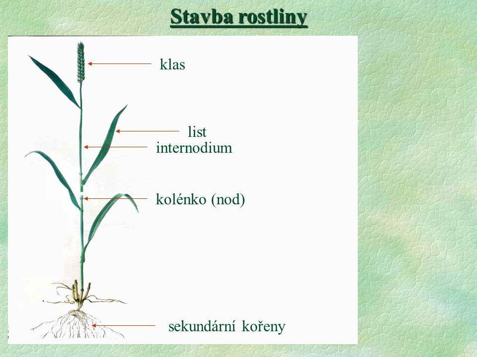 klas list kolénko (nod) internodium Stavba rostliny sekundární kořeny