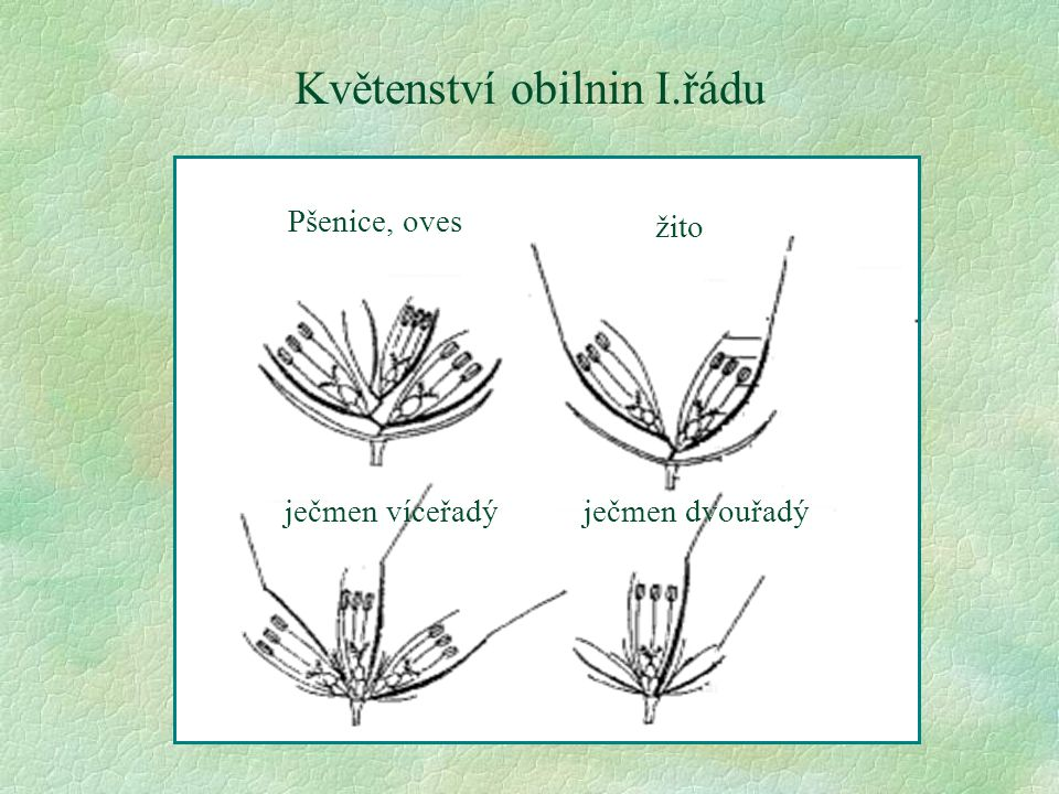 Květenství obilnin I.řádu Pšenice, oves žito ječmen víceřadýječmen dvouřadý