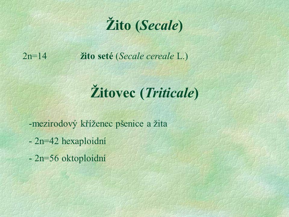 Žito (Secale) 2n=14 žito seté (Secale cereale L.) Žitovec (Triticale) -mezirodový kříženec pšenice a žita - 2n=42 hexaploidní - 2n=56 oktoploidní