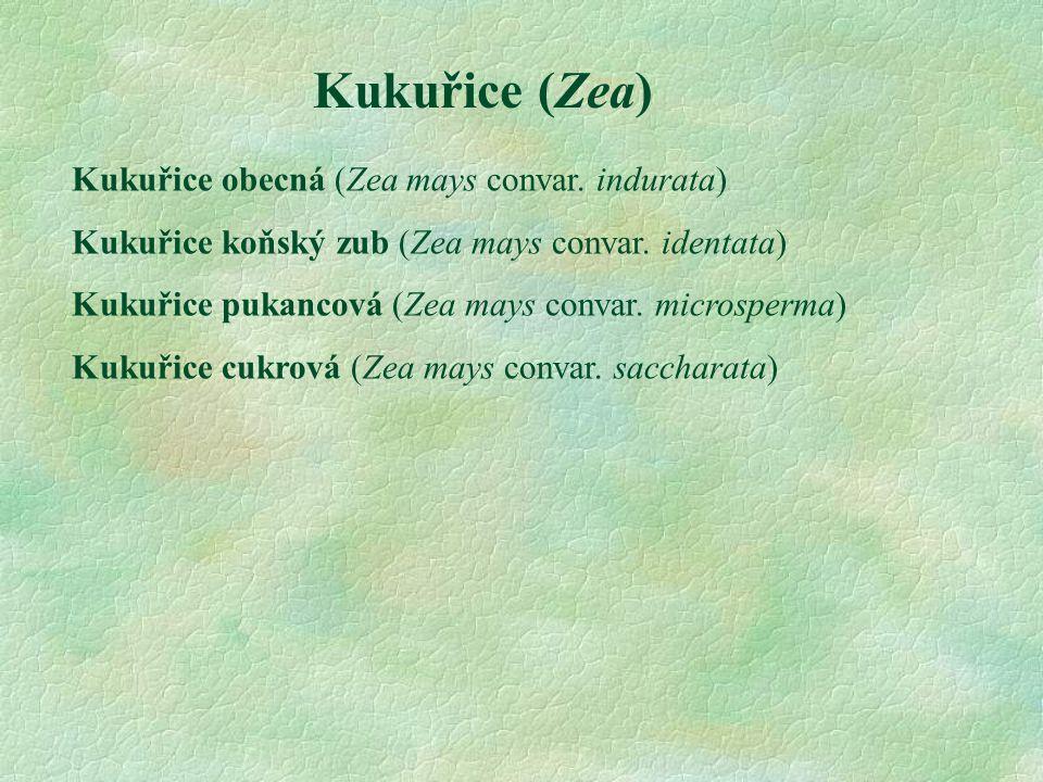 Kukuřice (Zea) Kukuřice obecná (Zea mays convar. indurata) Kukuřice koňský zub (Zea mays convar. identata) Kukuřice pukancová (Zea mays convar. micros