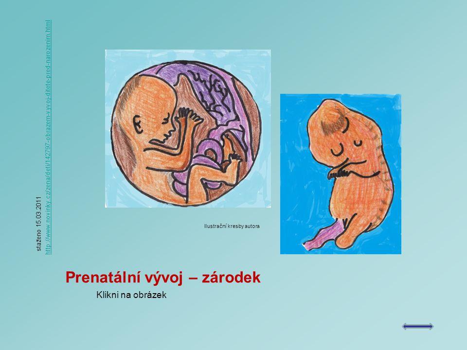 Prenatální vývoj – zárodek Klikni na obrázek staženo 15.03.2011 http://www.novinky.cz/zena/deti/142797-obrazem-vyvoj-ditete-pred-narozenim.html Ilustrační kresby autora