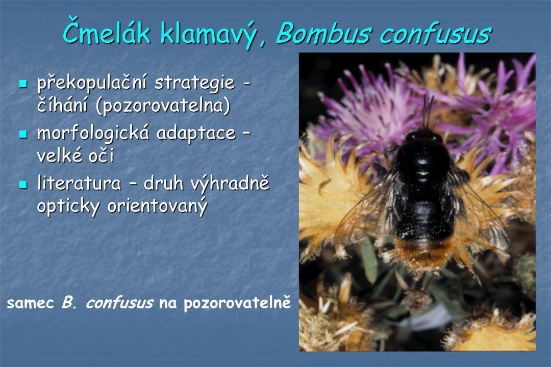 Čmelák klamavý, Bombus confusus překopulační strategie - číhání (pozorovatelna) překopulační strategie - číhání (pozorovatelna) morfologická adaptace