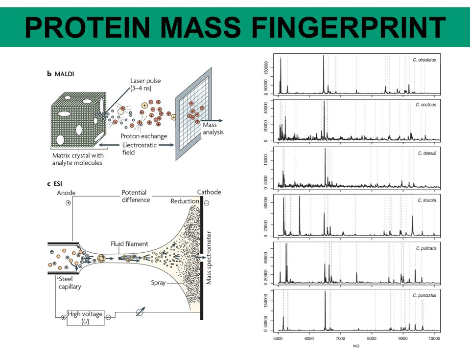 PROTEIN MASS FINGERPRINT