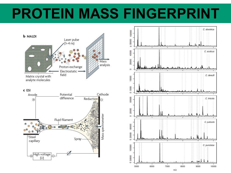 SROVNÁNÍ METOD MetodaDNA hybri Dizace Mass fingerpti nting Mikro satelity RFLF (VNTR) SINERAPDAFLPSNP Počet lokusů VšechnyMnohoJedenMnohoJedenMnoho Jeden / mnoho Repliko vatelnost RůznáVysoká Různávysoká Povaha znaků DistanceKodomin antní Kodomi nantní.