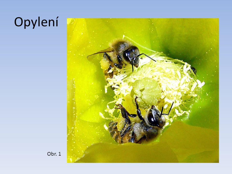 Pestík a tyčinky Obr. 5