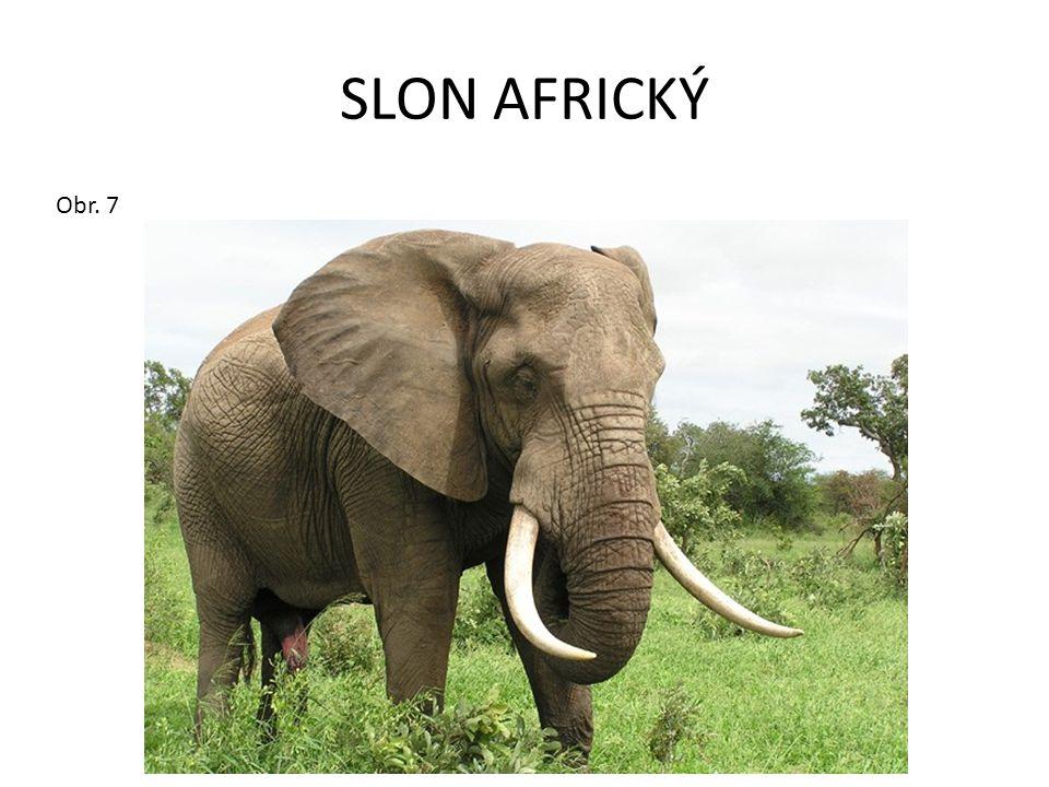 SLON AFRICKÝ Obr. 7