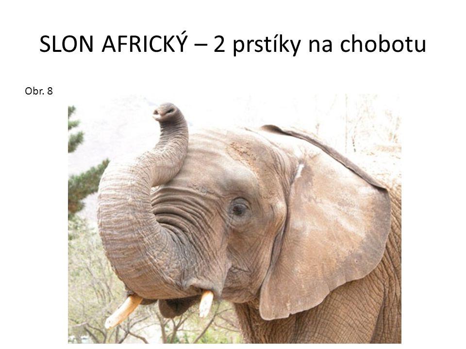 SLON AFRICKÝ – 2 prstíky na chobotu Obr. 8