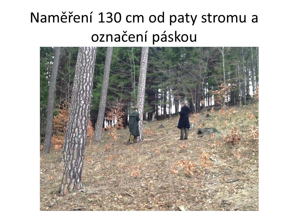 Strom 5 (Borovice lesní-Pinus sylvestris) Lokalita: D4/14 Expozice svahu: J Sklon svahu: 19° Popis lokality: Mírný svah Výška odběru: 130cm Odhadovaná tloušťka: 28cm Změřená tloušťka: 30cm Odhadovaný obvod: 90cm Změřený obvod: 109cm Odhadovaná výška: 20m Odstupová vzdálenost: 15m Úhel paty stromu: 10° Úhel na vrchol: 60° Tg úhlu od paty: 0,18 Tg úhlu od vrcholu: 1,73 Vypočtená výška: 21m Změřená výška: 21m Délka vzorku: J=S=cm Počet letokruhů 10 cm: J-60/S-54 Prům.- 57 Vypočtený průměr na 1 cm 5,7 ks Vypočtený poloměr: 12cm Počet letokruhů na poloměr 68 ks/ Věk 77 let