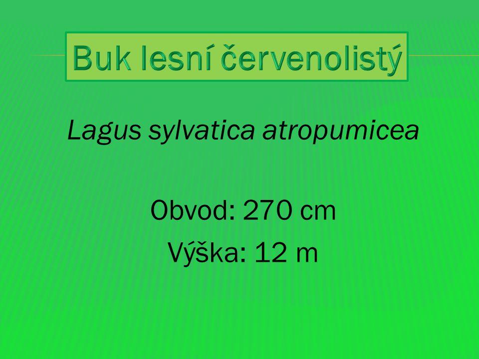 Buk lesní červenolistý (Fagus sylvatica ´Atropurpurea´) Buk lesní, společně s dubem jsou naše domácí dlouhověké dřeviny.