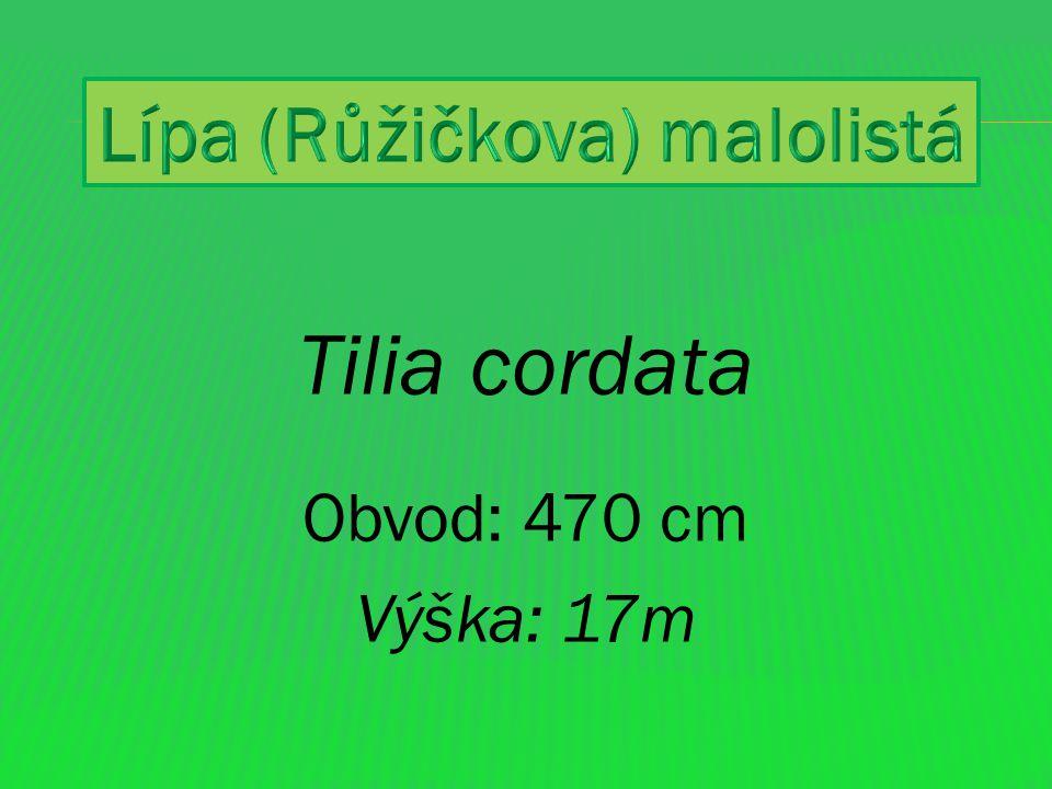 Lípa malolistá - lípa srdčitá (Tilia cordata) Až 30 m vysoký, listnatý, opadavý strom.